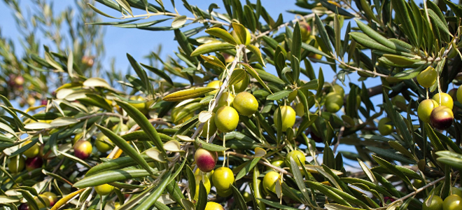 Olives at Can Carro Apartments, Mallorca